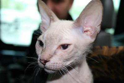 教你认识地球上各品种的猫(转)-宠物天地-生活娱乐