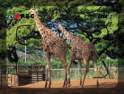 长脖子的缘故:长颈鹿是陆地上最高的动物它的祖先并不高,主要靠吃草为生。后来,自然条件 发生变化,地上的草变得稀少,脖子较长的个体因为可以吃到高大树木上的树叶得以生存, 而脖子短的则因为食物不足而灭绝。这样一代代淘汰,就产生了脖子很长的长颈鹿。 长脖子特写: