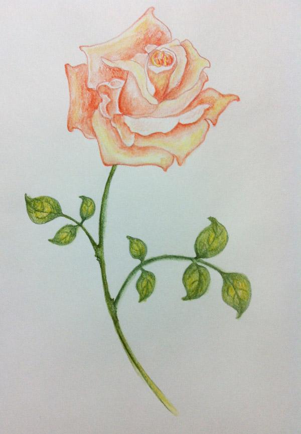 彩铅绘画玫瑰花步骤图